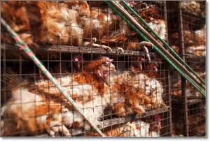 Cowspiracy poultry CAFO conditions