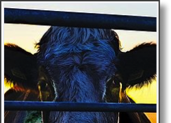"""<em>Cowspiracy</em>: Fake facts and fall-guy """"truths"""""""